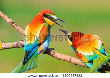 spring colored birds flirting, natural design, unique moments in the wild #1100237423