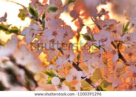 cherry tree blossom on sunset #1100391296