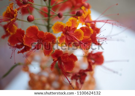 Caesalpinia pulcherrima Sw. tropical plant tree with colorful flowers in red orange and yellow under natural sunlight outdoor. #1100624132
