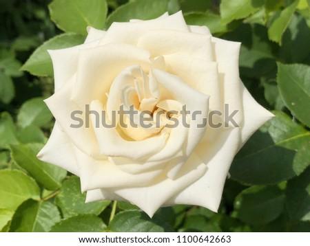 White Rose Flower Close Up #1100642663