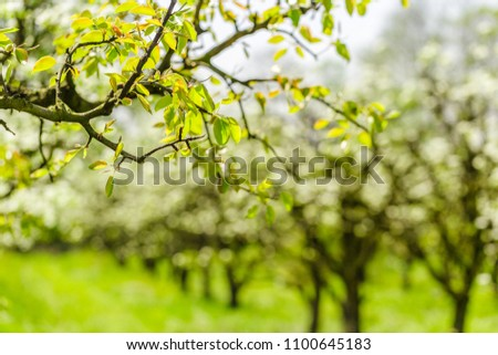 apple garden with blossoming trees #1100645183