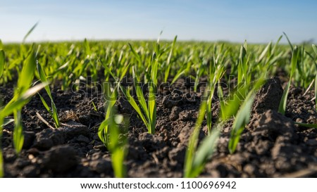 Young wheat seedlings growing in a field. Young green wheat growing in soil. Close up on sprouting rye agricultural on a field sunny day with blue sky. Sprouts of rye #1100696942