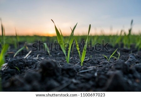 Young wheat seedlings growing in a field. Green wheat growing in soil. Close up on sprouting rye agricultural on a field in sunset. Sprouts of rye #1100697023