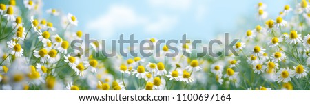Chamomile flower field,Chamomile in the nature #1100697164