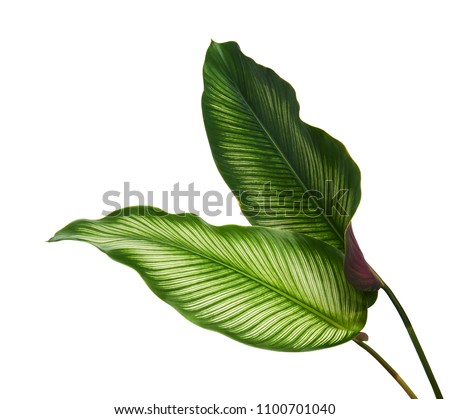 Calathea ornata (Pin-stripe Calathea) leaves, Tropical foliage isolated on white background, with clipping path                              Royalty-Free Stock Photo #1100701040