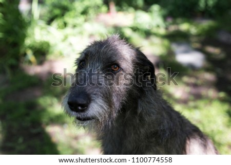 Closeup of beautiful grey Irish Wolfhound in half-profile sitting in garden with patches of sun in its face and soft focus background #1100774558