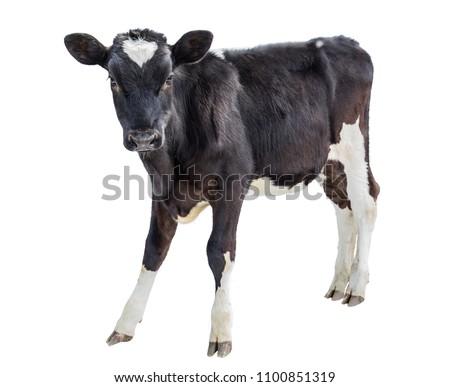 cow farm animal Royalty-Free Stock Photo #1100851319