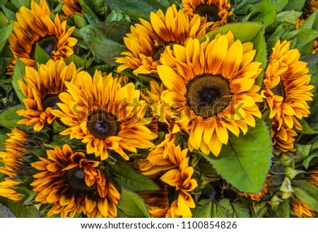 brown and yellow sunflowers for sale at farmers market   #1100854826