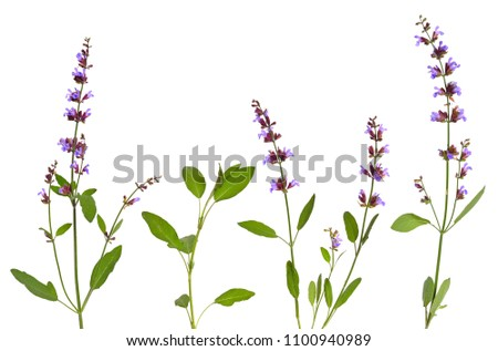 Salvia officinalis plant (sage, also called garden sage, common sage, or culinary sage) isolated on white background. #1100940989