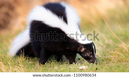 Skunk in Grass, Warm Colors. Striped Skunk portrait #1100980634