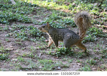 A tree squirrel walking though an area in a park searching for food. #1101007259