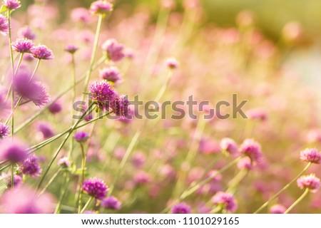 Purple Fuchsia Flowering,Allium bloom  in the field with sunlight background. #1101029165