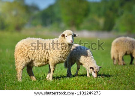 Sheeps in a meadow on green grass #1101249275