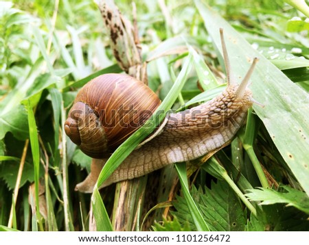 Closeup image of snail in the green grass with blurred background. Nature. Flora and fauna. Summer images. Wildlife. #1101256472