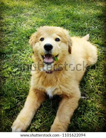 Golden Retriever Collie mix puppy laying in grass #1101622094