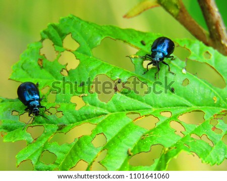 alder leaf beetle, Agelastica alni, Royalty-Free Stock Photo #1101641060