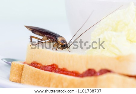 The problem in the house because of cockroaches living in the kitchen.Cockroach eating whole wheat bread on white background(Isolated background). Cockroaches are carriers of the disease. #1101738707