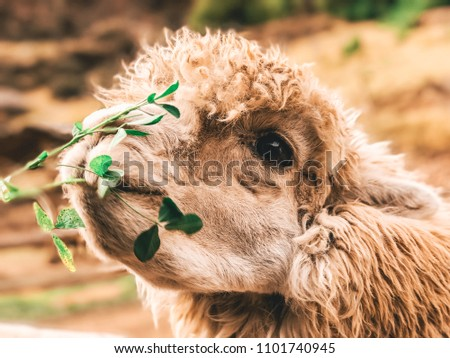 llama being fed in the Sacred Valley, Peru #1101740945