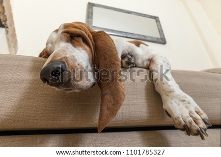 Beautiful Basset Hound dog sleeping comfortably on the sofa in the living room of the house with lots of sleep. Dog muzzle ears and big paws dropped the cushions #1101785327