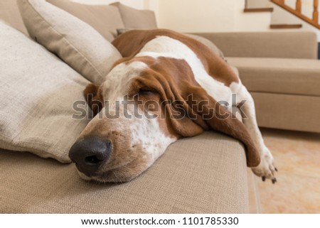 Beautiful Basset Hound dog sleeping comfortably on the sofa in the living room of the house with lots of sleep. Dog muzzle ears and big paws dropped the cushions #1101785330