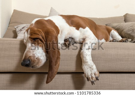 Beautiful Basset Hound dog sleeping comfortably on the sofa in the living room of the house with lots of sleep. Dog muzzle ears and big paws dropped the cushions #1101785336