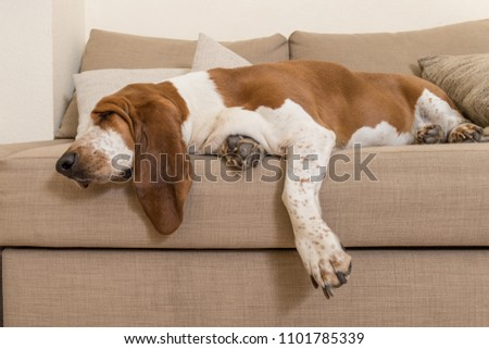Beautiful Basset Hound dog sleeping comfortably on the sofa in the living room of the house with lots of sleep. Dog muzzle ears and big paws dropped the cushions #1101785339