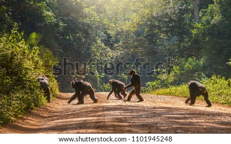 Interesting animal behavior, with a male chimpanzee walking upright, like a human, across a dirt road. The other four chimps are moving in the usual way, with knuckles to the ground. Uganda. #1101945248