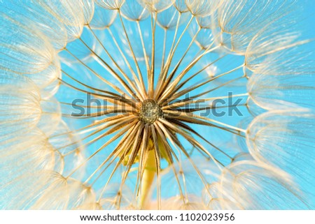 dandelion flower background, extreme closeup. Big dandelion on natural background.