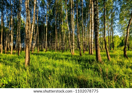 A scene of sunset in a birch forest on a sunny summer evening. Landscape. #1102078775