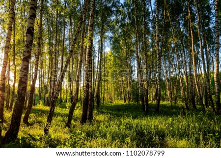A scene of sunset in a birch forest on a sunny summer evening. Landscape. #1102078799