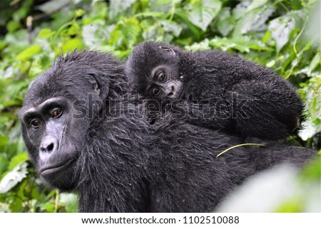 Baby gorilla laying on mum's back in Bwindi Impenetrable Forest #1102510088