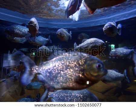 Out focus front Piranha Swimmimg in aquarium fishtank and focus others in a middle of picture