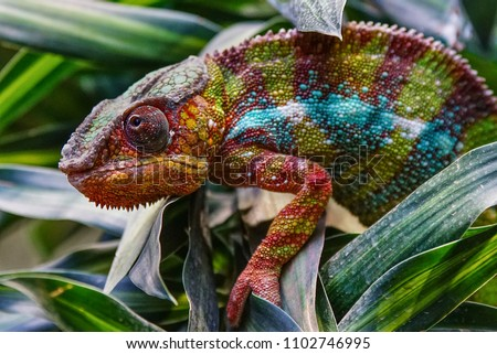 Panther Chameleon (Furcifer pardalis), fauna of Madagascar  Royalty-Free Stock Photo #1102746995