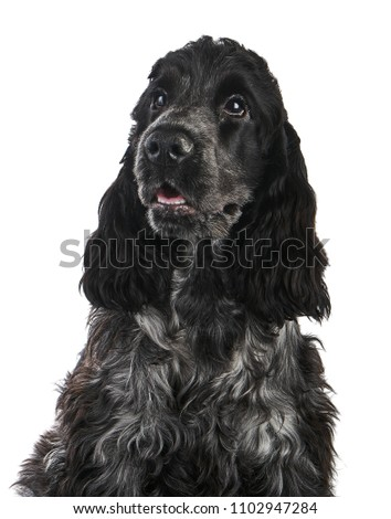 English Cocker Spaniel Puppy Portrait Isolated on White                      #1102947284