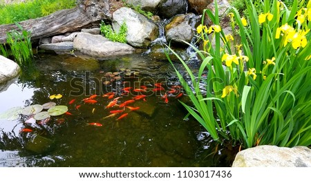 Small Japanese Koi in Pond Near Surface