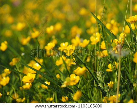 Ranunculus acris - meadow buttercup, tall buttercup, common buttercup, giant buttercup. Photo taken in Poland, Europe. #1103105600