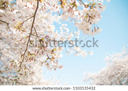 Warm sunshine and white cherry blossoms on tree with blue sky #1103135432