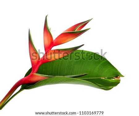 Heliconia bihai (Red palulu) flower with leaf, Tropical flowers isolated on white background, with clipping path   #1103169779