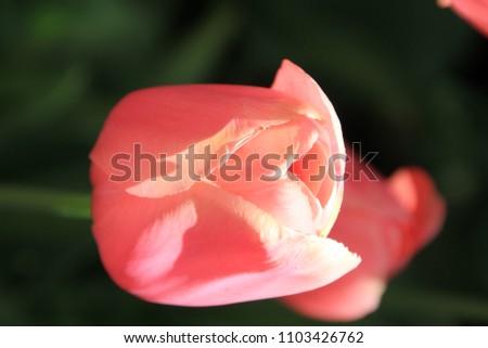 Close-up of beautiful tulips at the Keukenhof, Lisse, Netherlands #1103426762