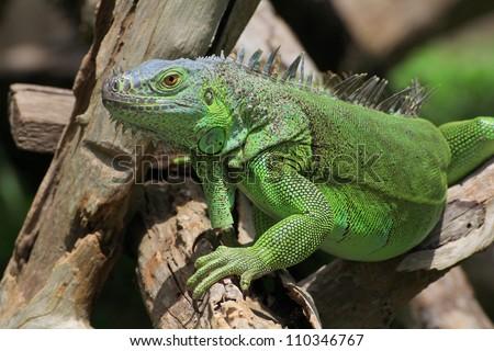 Green iguana on tree branch Royalty-Free Stock Photo #110346767