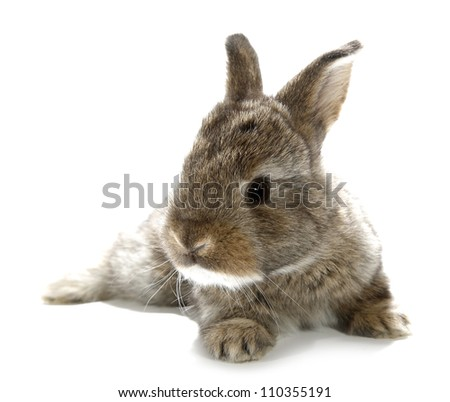 Gray rabbit bunny baby isolated on white background