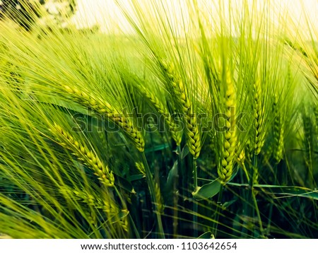 Barley field in sunset time,Barley grain is used for flour, barley bread, barley beer, some whiskeys, some vodkas, and animal fodder   Royalty-Free Stock Photo #1103642654