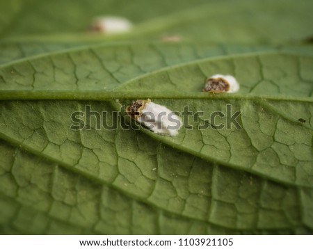 photo shows a scale insect or hydrangea scale sucking on a leaf and producing a lot oh honeydew