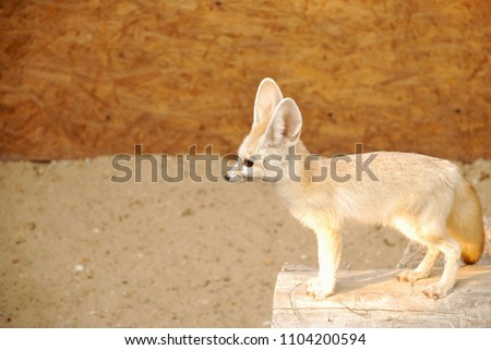 The fennec fox or fennec (Vulpes zerda) is a small nocturnal fox. Its most distinctive feature is its unusually large ears, which also serve to dissipate heat. The fennec fox weighs about 1.5–3.5 lb.