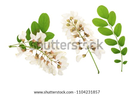 Blossoming acacia with leafs isolated on white background, Acacia flowers, Robinia pseudoacacia . White acacia #1104231857