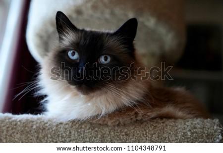 Ragdoll housecat lying in tower bed, regarding viewer, portrait                       #1104348791