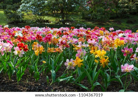 A colorful and variegate kinds of tulips flowers - close up photo. #1104367019