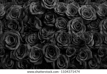 black roses isolated on a black background.