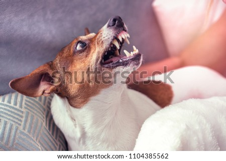 Dog Jack Russell Terrier grins in response to the threat from the man. #1104385562