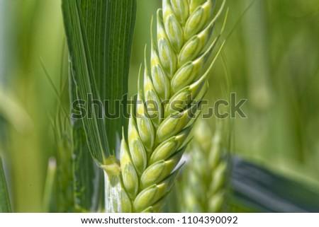 Detail of a green Emmer wheat (Triticum dicoccum) spike. #1104390092
